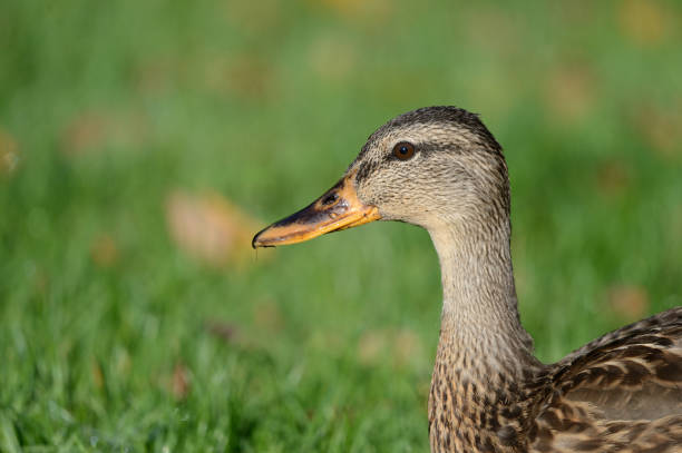 Young Stick duck stock photo