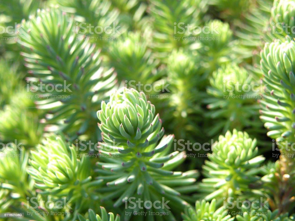 Young stonecrop (sedum) on the rock garden background stock photo
