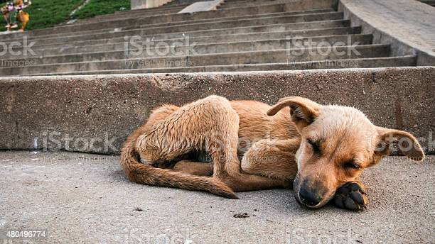 Young stray dog sleeping picture id480496774?b=1&k=6&m=480496774&s=612x612&h=nzjxj45qck78gyzwvmgbsiebaptjfqea4iyrbqd5j0g=