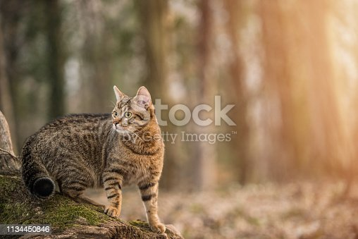 Young striped cat exploring the woods.