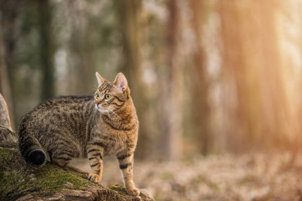 Young striped cat exploring the woods. stock photo