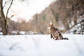 Young striped cat on a snowy day in nature.