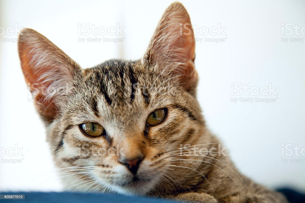 young striped cat foto de stock royalty-free