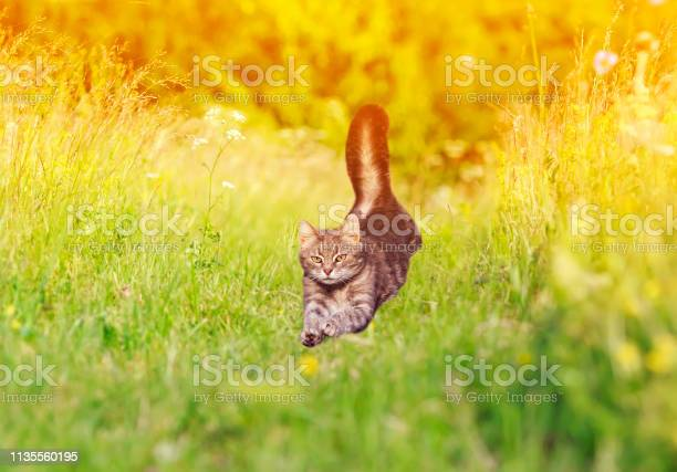 Young striped cat runs gracefully across a green bright meadow with picture id1135560195?b=1&k=6&m=1135560195&s=612x612&h=0f5fb 6r5n1suexgq1jd8nipy2pcopaezq6xpqxwn2q=