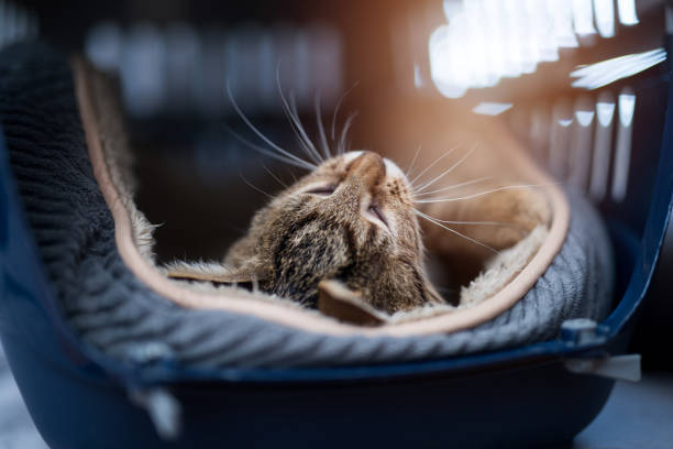 Young striped kitten laying in a carrier. stock photo