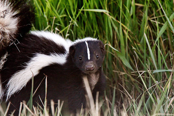 Young Striped Skunk in roadside ditch stock photo