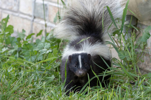 young striped skunk (mephitis mephitis) near the human dwelling - skunk stock photos and pictures
