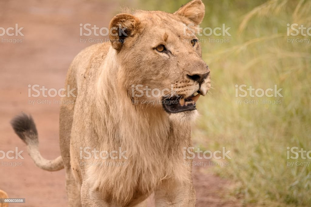 Young sub-adult African lion stock photo