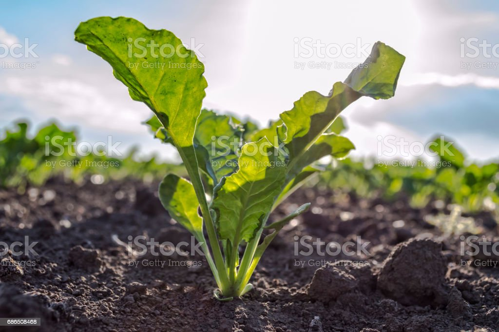 Young sugar beet plant in field. stock photo