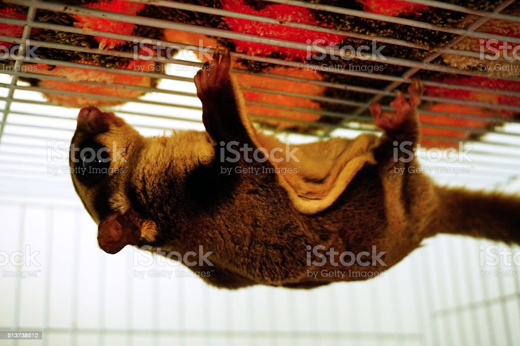 Young sugar glider hanging on her cage stock photo