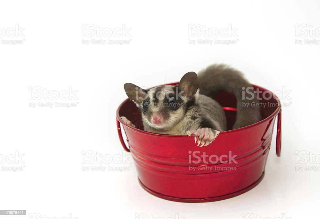 young sugar glider in the red pot royalty-free stock photo