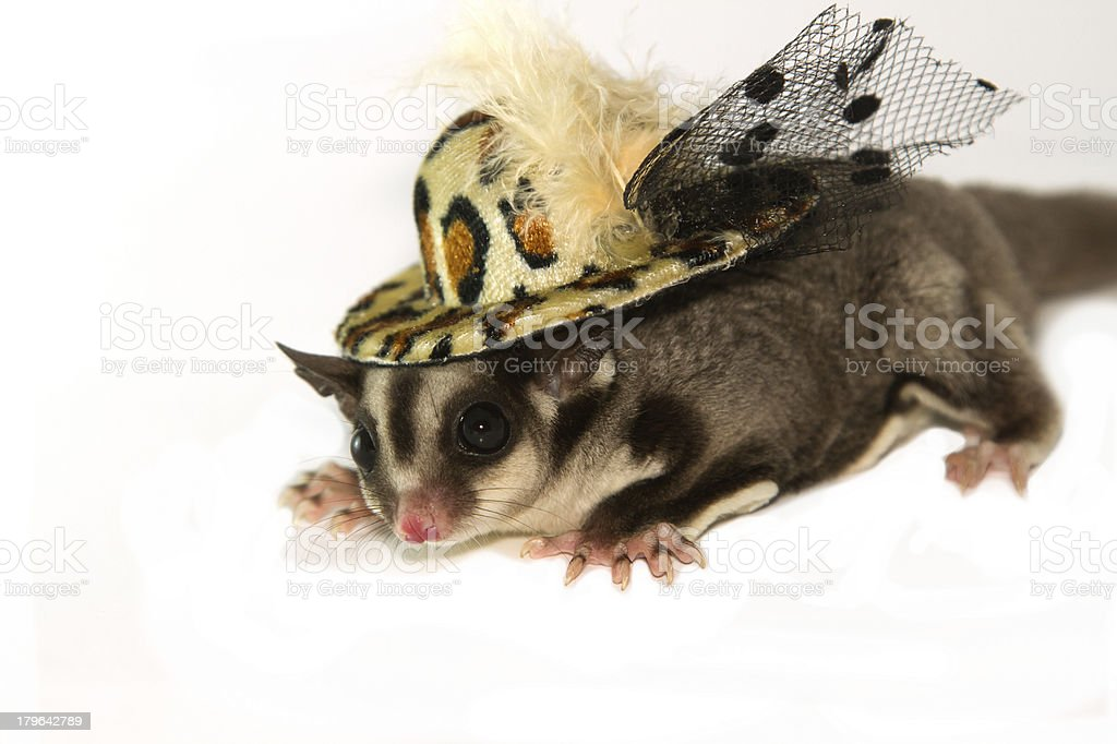 young sugar glider with fashion hat ,isolate royalty-free stock photo