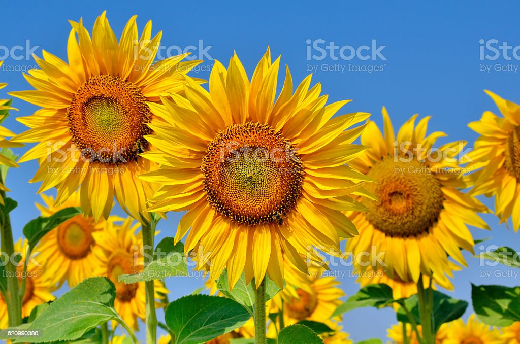 Young sunflowers blooming in the field against the blue sky. foto royalty-free