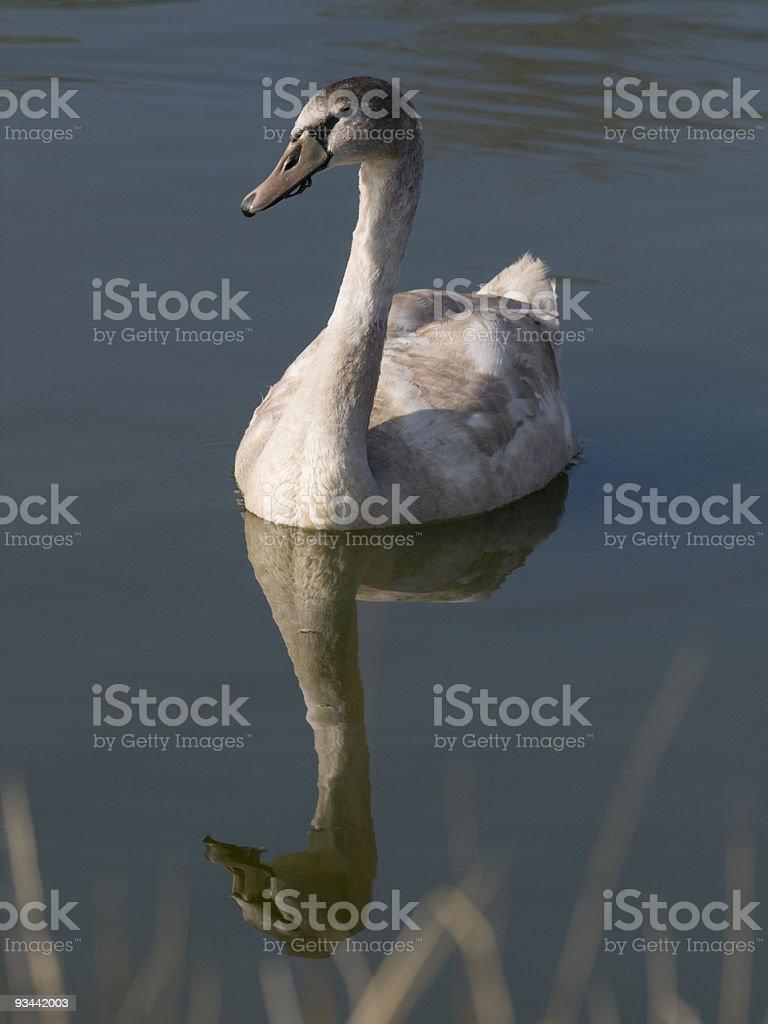 Junge swan und Reflexion Lizenzfreies stock-foto