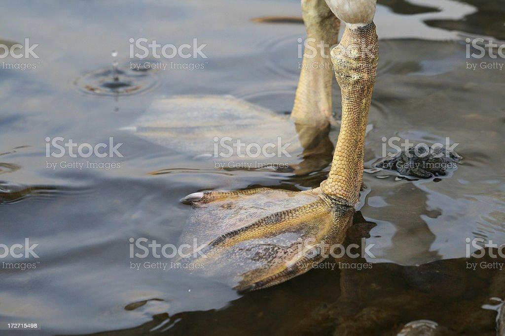 Junge Swan Füße – Foto