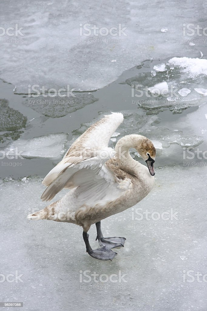 Young swan on ice royalty-free stock photo
