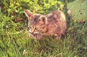 istock Young tabby cat after hunting - with caught mouse in mouth 1255145084