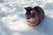 istock young tabby cat in winter on snow 1255145180
