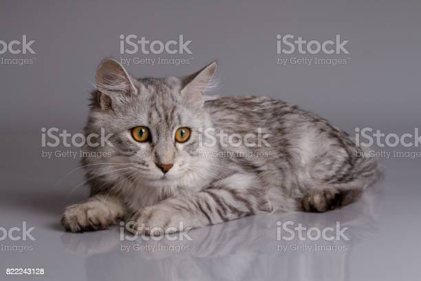 Young tabby cat isolated on grey background picture id822243128?b=1&k=6&m=822243128&s=612x612&h= 19dmlpr6binrgwvszcbhhmapwskwdjld0kym2zbo6u=