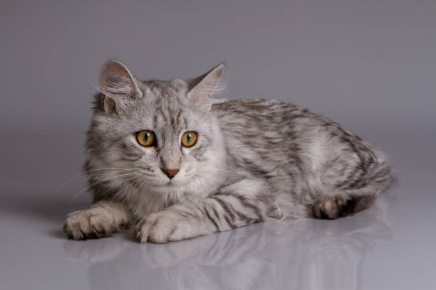 Young tabby cat isolated on grey background picture id822243128?b=1&k=6&m=822243128&s=612x612&w=0&h=ig fcaaitv1wpgvtpazf84zw00ztjgj1hme1gjdsxam=