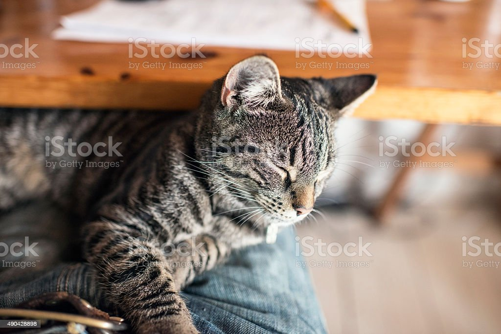 Young tabby cat lying on lap. Point of view. stock photo