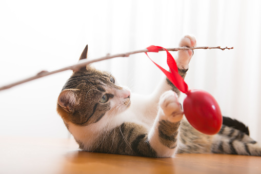 young tabby cat playing with  red easter egg