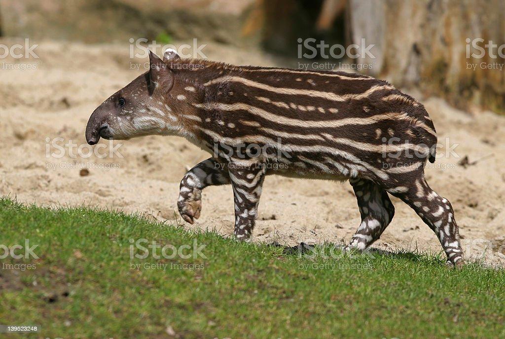 young Tapir stock photo