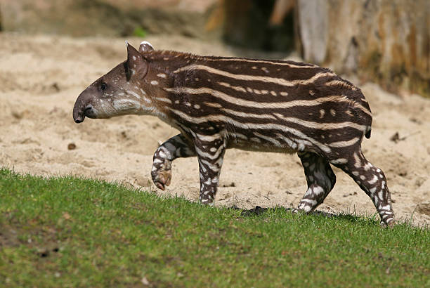 young Tapir stock photo