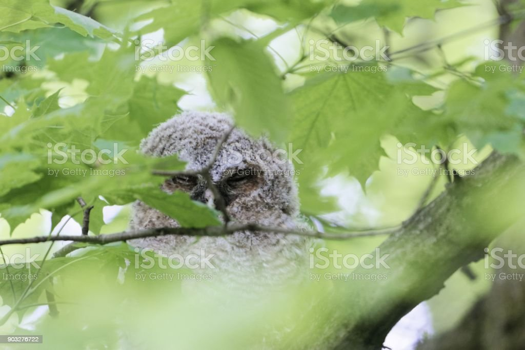 Young tawny owl (Strix aluco) hidden in green leaves of a tree stock photo