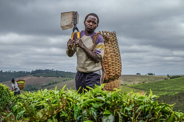 Young Tea Farmer stock photo