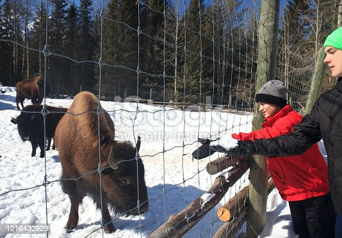 Two young boys feeding a buffalo some snow in winter.