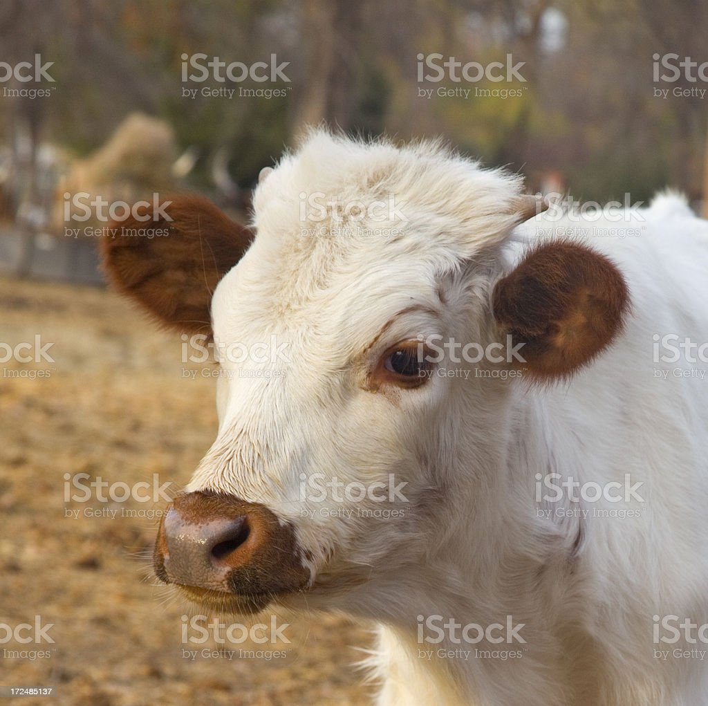 Young Texas Longhorn bull head/ shoulder close-up royalty-free stock photo