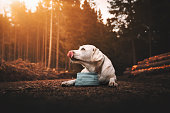 young thirsty purebred labrador retriever dog puppy lying down and drinking water out of dog bowl in forest during sunset