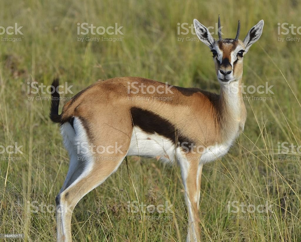 Young Thomson's Gazelle stock photo