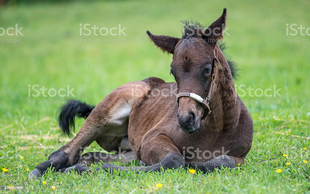Young Thoroughbred horse resting in the grass stock photo