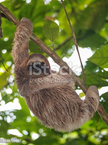 A young three-toed sloth animal in the jungle of Costa Rica, Central America