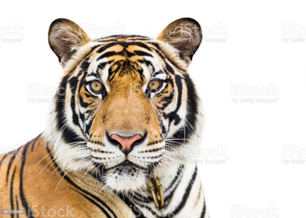 Young tiger isolated on white background stock photo