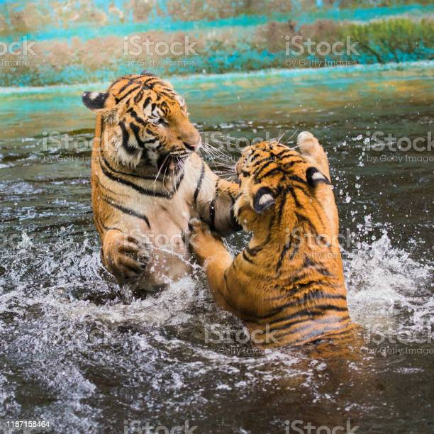 Young tigers are playing in a pool