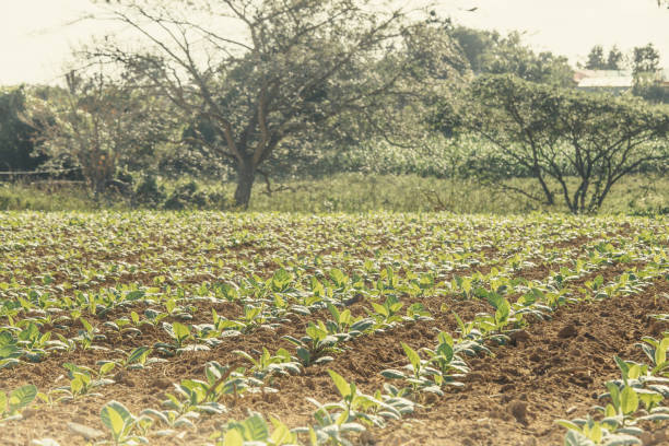 young tobacco crop in cuba - katiedobies stock pictures, royalty-free photos & images