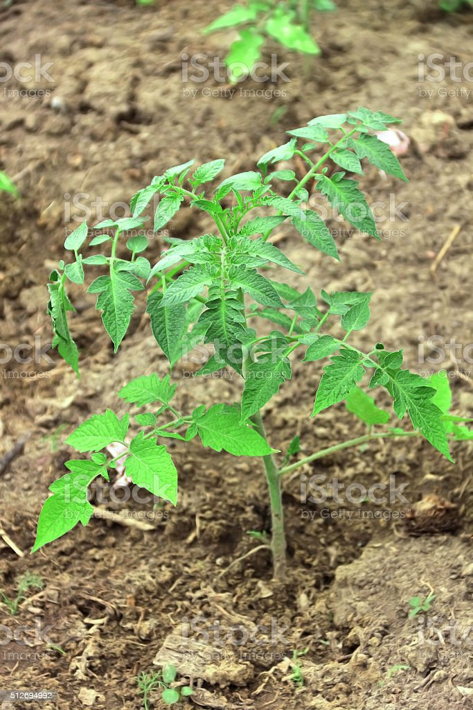 Young tomato plant. Growing tomato in garden stock photo