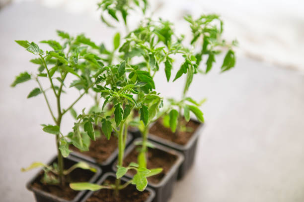 Young tomato plant in a pot stock photo