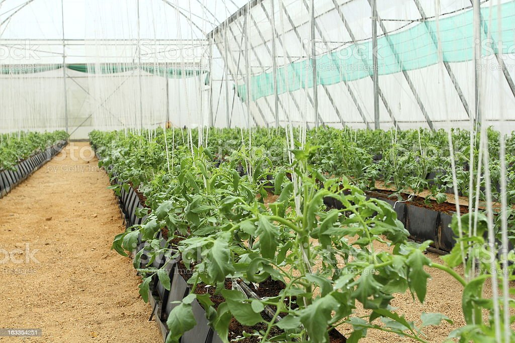 Young tomato plant in glass house. royalty-free stock photo