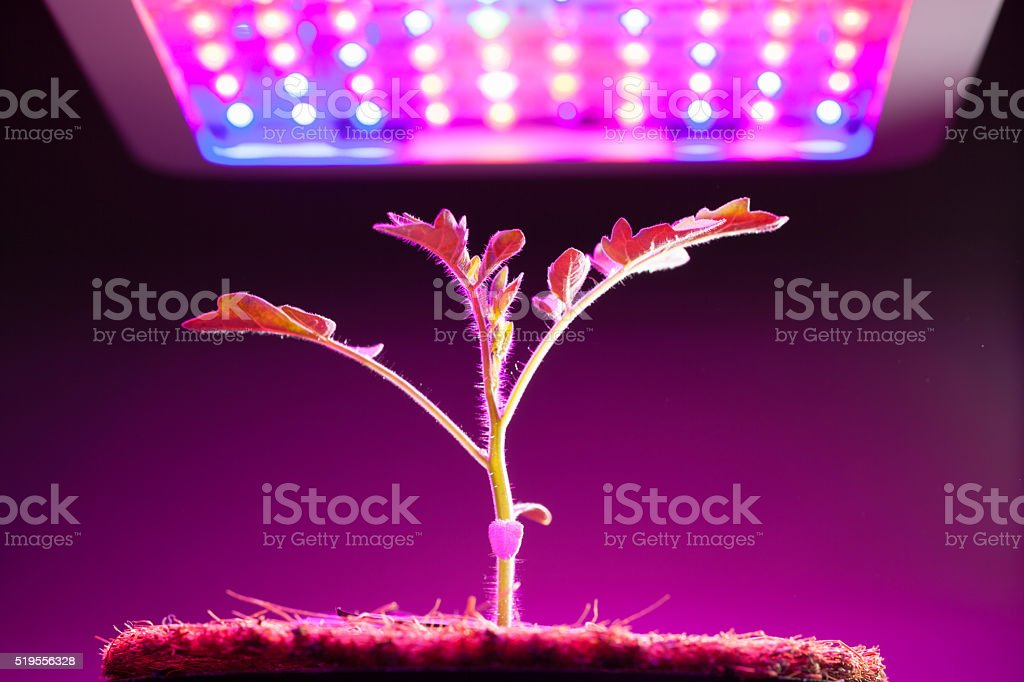 Jovem Planta de tomate com luz de DIODO EMISSOR DE LUZ para crescer - foto de acervo