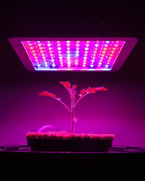 Giovane Pianta di pomodoro di luce LED crescere - foto stock