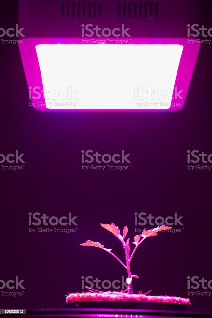 Young Tomato Plant Under Led Grow Light Stock Photo