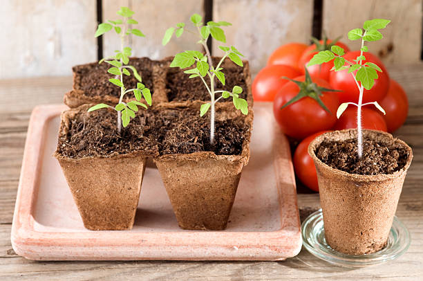young tomato plants and ripe tomatoes - zaaien stockfoto's en -beelden