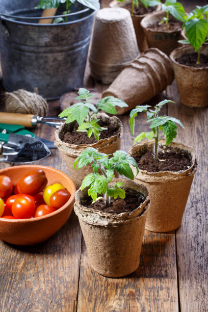 Young tomato seedling sprouts in the peat pots. Gardening concept. stock photo