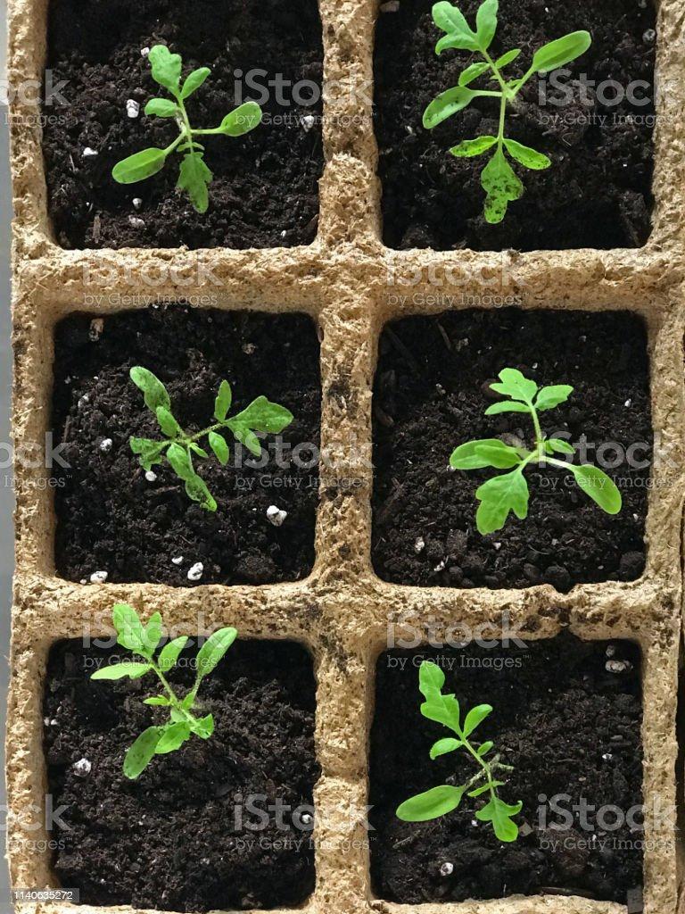 Planter Des Tomates En Pot photo libre de droit de jeunes plants de tomates en pots de