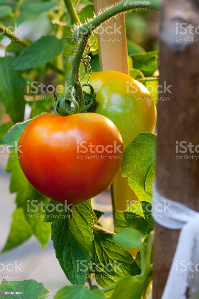 Young Tomatoes on a Vine royalty-free stock photo