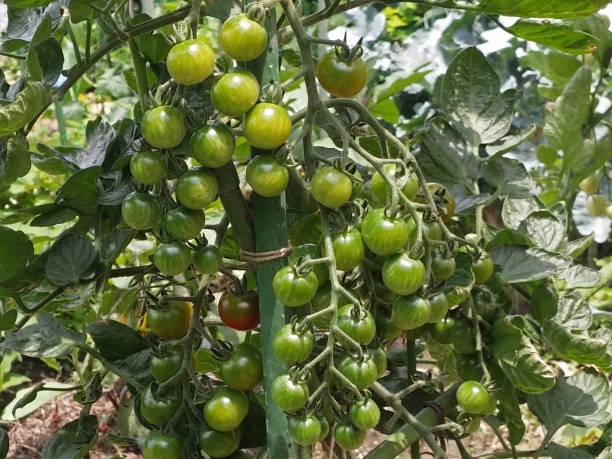 若いトマト ストックフォト